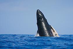 Humpback Whale calf, breaching with eyes open, Megaptera novaeangliae, Hawaii, Pacific Ocean.