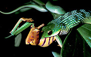 Parrot Snake, Liophis typhlus, swallowing leaf frog, Phyltomedusa tomopterna, Tambopata, Amazonian Peru,