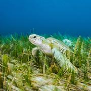Green sea turtle (Chelonia mydas) feeding on turtlegrass seagrass (Thalassia testudinum) in The Bahamas