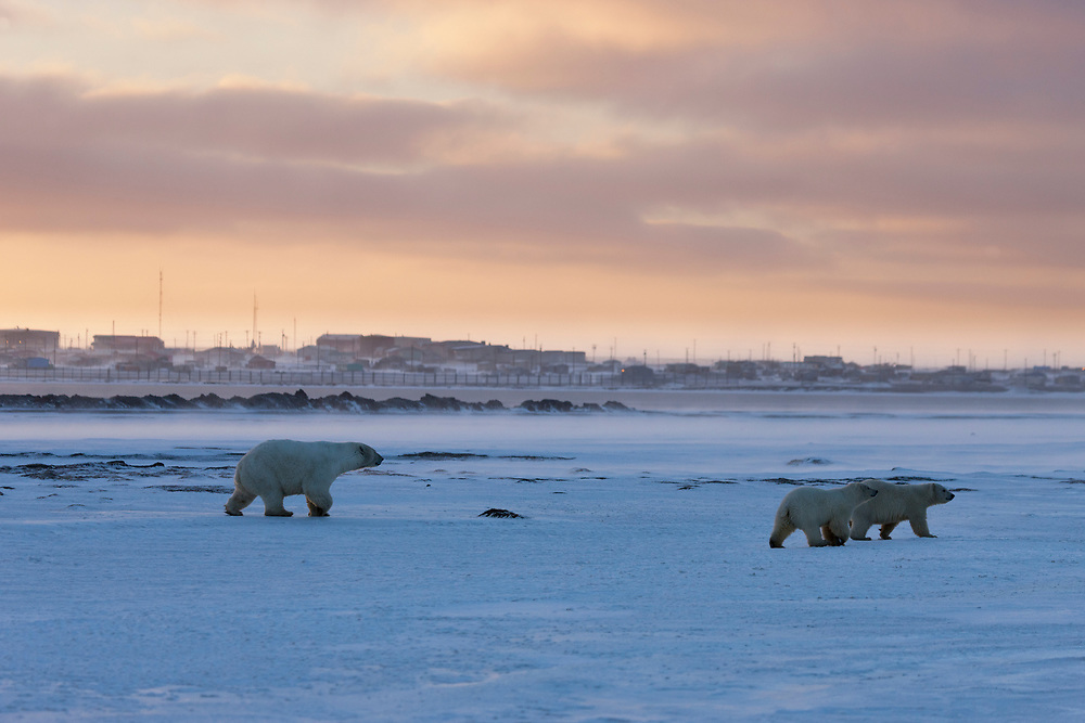 Alaska, ANWR, a female polar bear and her two cubs walk the Beaufort Sea coastline in front of the Inupiat Village of Kaktovik