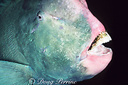 giant bumphead parrotfish, Bolbometopon muricatum, showing massive beak used for scraping and crushing corals, Sipadan Island, Sabah, Borneo, Malaysia ( Celebes Sea, Western Pacific Ocean )