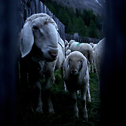 A sheep and a lamb wait inside an enclosure during sunrise at 2,011 meters above sea level in the village of Kurzras (Maso Corto) in the autonomous region of South Tyrol, Italy, June 9, 2018. Picture taken June 9, 2018. REUTERS/Lisi Niesner - RC173E7CDD70