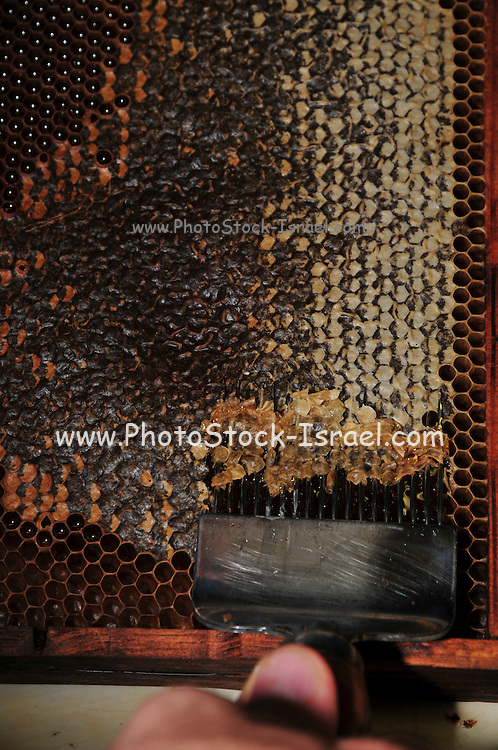 Beekeeper removes the wax cap Worker honeybees, (Apis mellifera) fill the hexagonal chambers of a frame with honey made from nectar. The domesticated bee is given a frame with hexagonal foundations, several such frames forming a hive. The chambers are built up from wax secreted by the bee, filled with honey & capped again with wax. The keeper removes the frames in late summer to prevent the bees feeding on the honey over winter. He replaces it with syrup. Frames similar to these are used as breeding chambers where the queen lays her eggs.