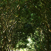 NORTHERN THAILAND- FEB 28 2006: An elephant is seen through a grove of trees near Elephant Haven, a refuge for the animals in Northern Thailand. Asian elephants - strong, social, and intelligent - have been trained for thousands of years for use in transportation, labor, and ritual. In Thailand, Elephants are of immense cultural importance, but their numbers are shockingly plummeting. In 1905, there were over 100,000 elephants in this land - now they are estimated at less than 5,000, of which barely half are in the wild. (Photo by Logan Mock-Bunting)