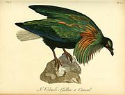Colombi-galline a Camail from the Book Histoire naturelle des oiseaux d'Afrique [Natural History of birds of Africa] Volume 6, by Le Vaillant, Francois, 1753-1824; Publish in Paris by Chez J.J. Fuchs, libraire 1808