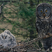 Portrait of adult great gray owl and chicks in a nest in an old growth forest during spring.