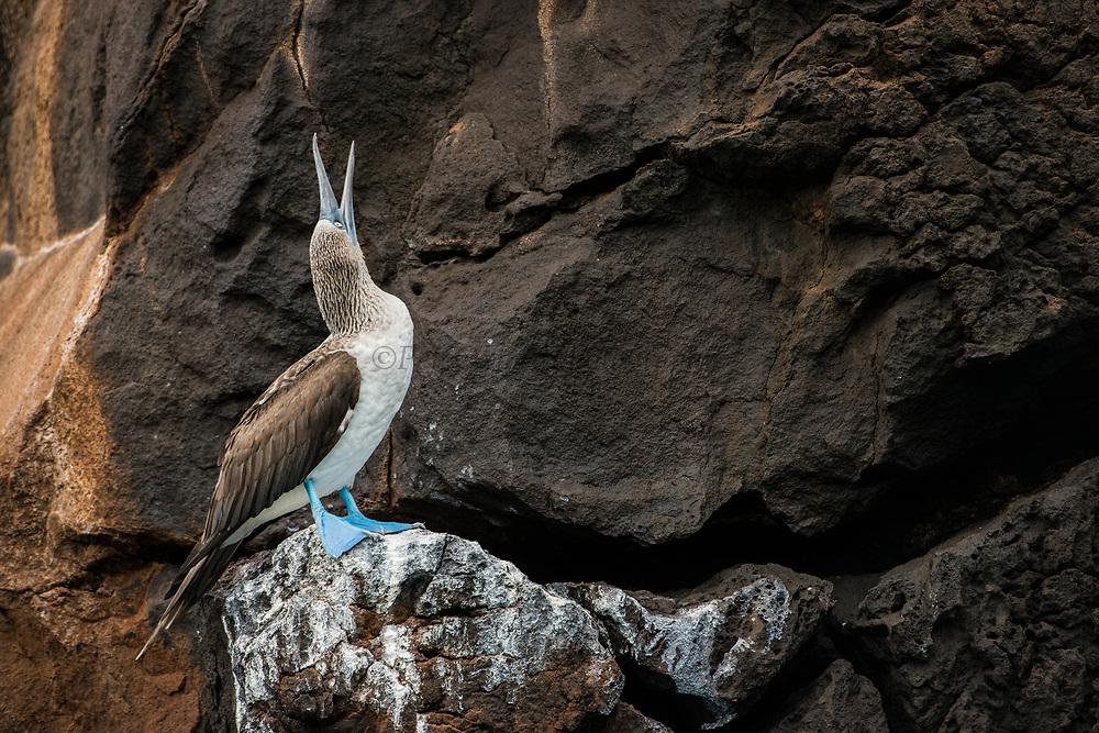 Blue-footed Booby (Sula nebouxii excisa)<br /> Buccaneer Cove, Santiago Island<br /> Galapagos Islands<br /> Ecuador<br /> South America