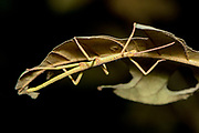 Stick insect (possibly nymph of Leiophasma sp.) from Andasibe, Madagascar.