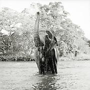 Elephant spraying water,The Riverside Elephant Park Near Kandy, Sri Lanka