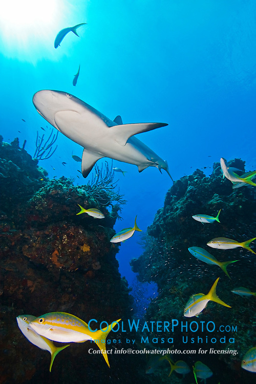 Caribbean Reef Shark, Carcharhinus perezi, swimming over coral reef ledges with yellowtail snappers, Ocyurus chrysurus, and minnows, West End, Grand Bahama, Atlantic Ocean.