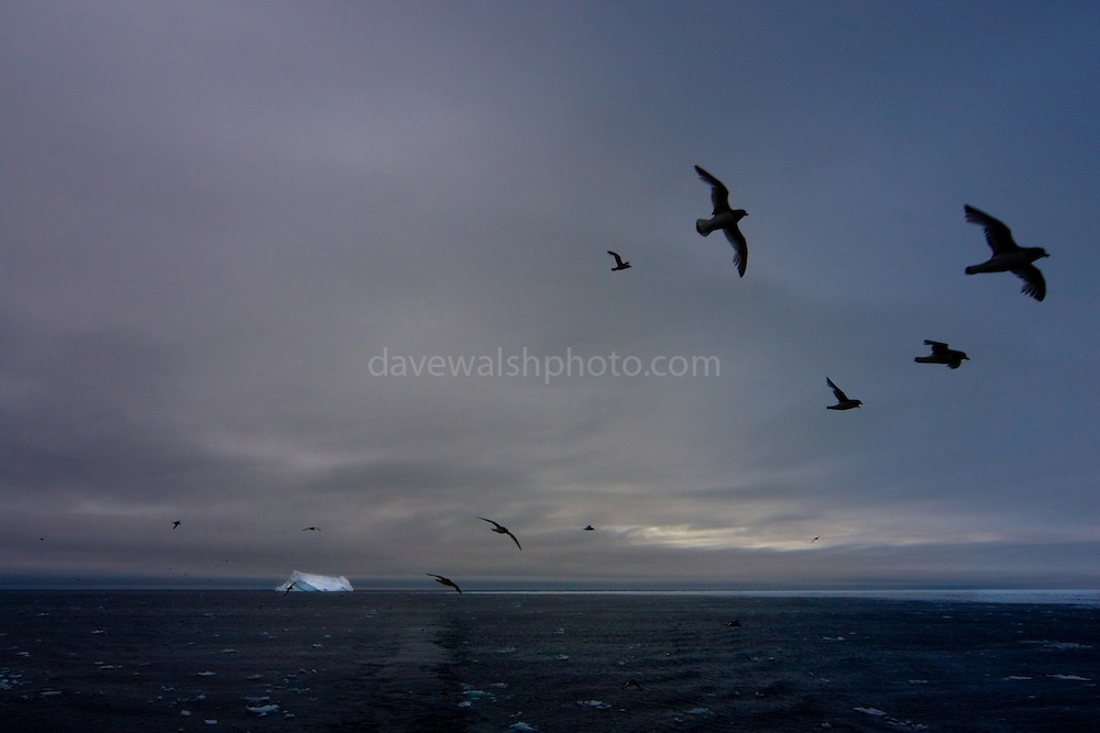 Flocks of petrels around the Esperanza in the Southern Ocean, iceberg in the distance