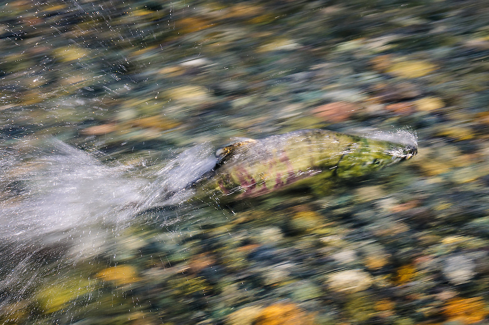 Wearing full spawning dress, a male chum salmon patrols the nuptial grounds on a coastal British Columbia river.