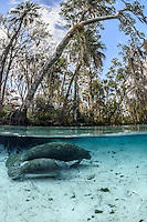A young manatee follows it's mother around Three Sisters Springs. It is early in the cooler manatee season and this pair seemed to be taking a tour of the springs with no other manatees present. This split-level image shows the underwater springs with manatees and the cypress and other trees above. There is a corner of the boardwalk with an observer. Talen in the Crystal River National Wildlife Refuge, Kings Bay, Crystal River, Citrus County, Florida USA. Florida manatee, Trichechus manatus latirostris, a subspecies of the West Indian manatee,