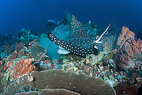 A Diver observing an Eagle Ray feeding in the coral rubble<br /> <br /> Shot in Indonesia