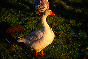 A3AAWB White domestic Embden geese in late afternoon winter sun