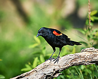 Red-winged Blackbird (Agelaius phoeniceus). Campos Viejos, Texas. Image taken with a Nikon D3s camera and 300 mm f/2.8 VR lens.