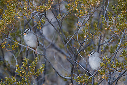 White-crowned sparrows, Ladder Ranch, west of Truth or Consequences, New Mexico, USA.