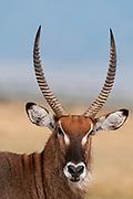 Waterbuck (Kobus ellipsiprymnus), Masai Mara, Kenya.