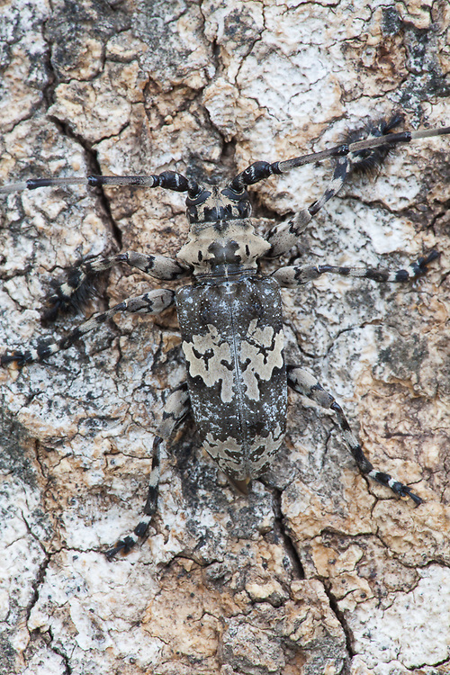 Longhorn beetle (Order: Coleoptera; Family: Cerymbicidae). Kruger National Park, Limpopo Province, South Africa, December 2009, Organization for Tropical Studies Trip.