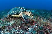 hawksbill sea turtle, Eretmochelys imbricata ( Endangered Species ), feeding on invertebrates on reef substrate, Tortuga Reef, Playa del Carmen, Cancun, Quintana Roo, Yucatan Peninsula, Mexico ( Caribbean Sea )
