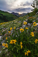 Yellow Balsamroot wildflowers bloom among others in Utah's Albion Basin atop Little Cottonwood Canyon in early Summer. Utah wildflowers are truly a sight to see.