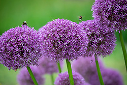 Allium 'Pinball Wizard' with bumblebee