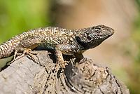 Western fence lizard, Sceloporus occidentalis, Mount Diablo State Park, California