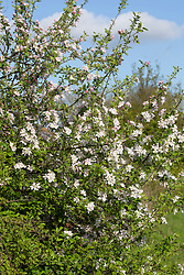 Native Crab Apple in blossom. Malus sylvestris