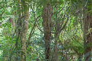 A Ruru (Morepork Owl) is checking on me from its hidden lookout. Camouflages against the struppy trunk of a fern tree, it took me a while to realise it.