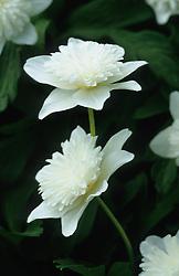 Anemone nemorosa 'Vestal' - Windflowers, Wood anemones