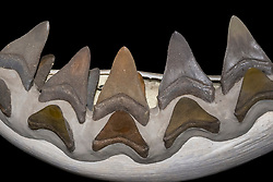 megalodon fossil teeth and reconstructed jaws, Carcharocles megalodon, from fossils of 15.9 - 2.6 million years old, Neogene period