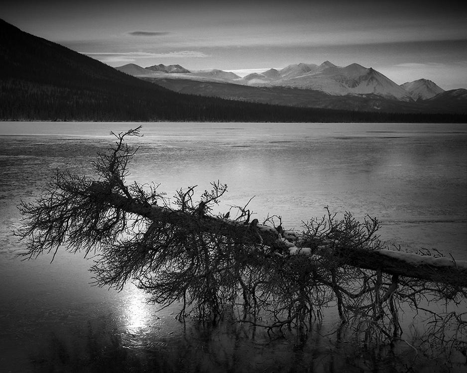 Downed Tree, Chootla Lake, YT