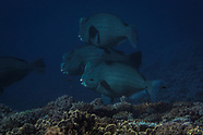 Bolbometopon muricatum (Bumphead Parrotfish