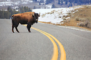 Bison crossing the road in Yellowstone National Park.