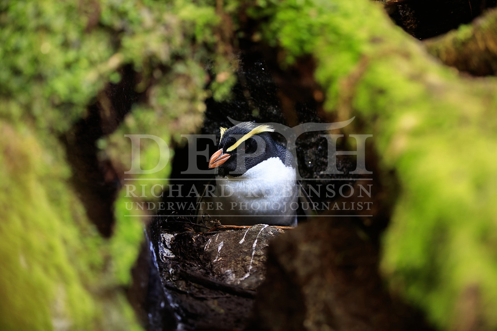 A Tawaki, also known as the Fiordland crested penguin (Eudyptes pachyrhynchus) sits on a chick at the Harrison Cove colony, Milford Sound, New Zealand.<br /> 06 October 2016.<br /> Photograph Richard Robinson © 2016