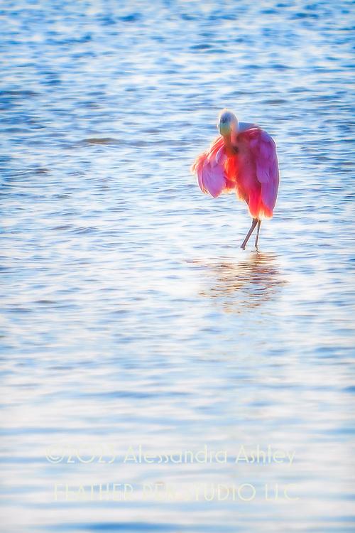 Roseate spoonbill preening lush pink feathers rimlit by sunset.  Ding Darling National Wildlife Refuge, Sanibel Island, FL.
