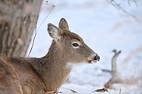 White-tailed deer (Odocoileus virginianus) doe in snow, Calgary, Carburn Park, Alberta, Canada: 2021-01-04