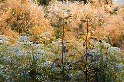 Ammi majus with Atriplex hortensis and Stipa gigantea. Giant feather grass, Golden oats