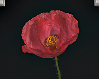 Red Poppy Flower. Backyard spring nature in New Jersey. Focus stacked composite of 25 mages taken with a Nikon Df camera and 105 mm f/2.8 VR macro lens and SB-910 flash (ISO, 105 mm, f/4, 1/60 sec). Images processed with Capture One and Helicon Focus (pyramid)