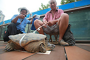 JINAN, CHINA - JULY 30: (CHINA OUT) <br /> <br /> 500 year old Tortoise caught <br /> <br /> A peasant holds a giant tortoise by a rope on July 30, 2014 in Jinan, Shandong Province of China. A peasant holds a giant tortoise the size of a washbasin by a rope on the overpass of Jiefang Road Central Hospital. The peasant claims to have unintentionally caught the tortoise in the Yellow River Many and is selling it to passersby for 1000 RMB (746.5 USD). Many passersby claim that the tortoise is over 500 years old and urges the peasant to set it free. <br /> ©Exclusivepix