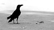 Jungle Crow (Corvus macrorhynchos) from Kanha National Park, India.