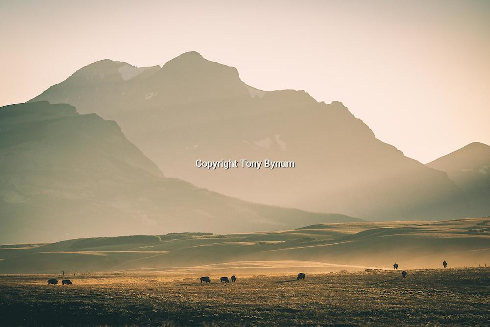 bison on the prairie, glacier national park, montana