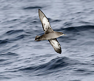 Sooty Shearwater - Ardenna grisea
