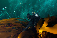 Annika Blomberg.Atlantic marine life, Saltstraumen, Bodö, Norway.Model release by photographer