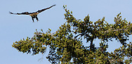A Bald Eagle landing in a Douglas Fir tree at Big Beef Creek on the Hood Canal of Puget Sound, WA, USA