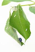Weevil (Byctiscus betulae), The Biosphere Reserve 'Niedersächsische Elbtalaue' (Lower Saxonian Elbe Valley), Germany | Rebstecher oder Rebstichler (Byctiscus betulae)