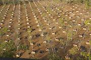 Myanmar, Monywa, grove of Banyan (Bo) trees at Boddhi Tataung (One thousand Bo trees)