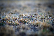A columbia sharp-tailed grouse (Tympanuchus phasianellus columbianus) dancing at a lek on private property near Zumwalt Prairie, Oregon. These birds were re-introduced into the grassland by the Oregon Department of Fish and Wildlife. Once abundant they were gone from NE Oregon by the early 60's.