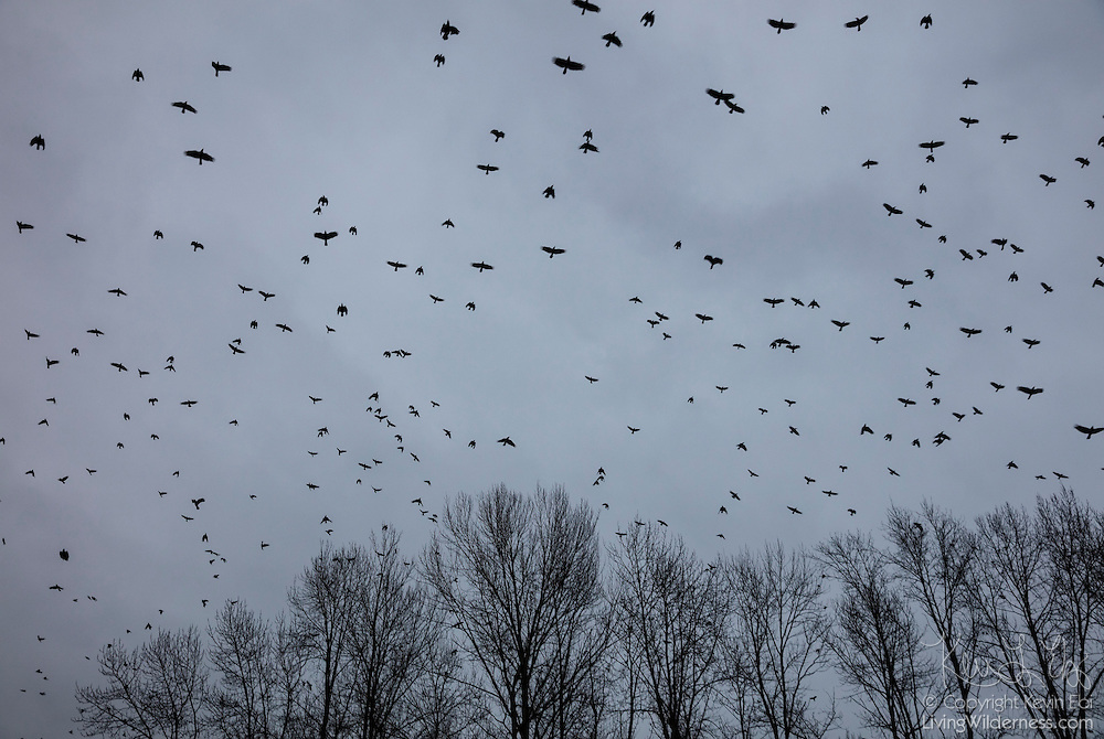 A large flock of American crows (Corvus brachyrhynchos), known as a murder, flies past bare winter trees along the Sammamish River in Bothell, Washington, on a dark, cloudy day. An estimated 10,000 crows roost in a small area in the city each night.