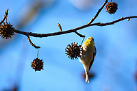 American Goldfinch eats seeds form a sweet gum tree.